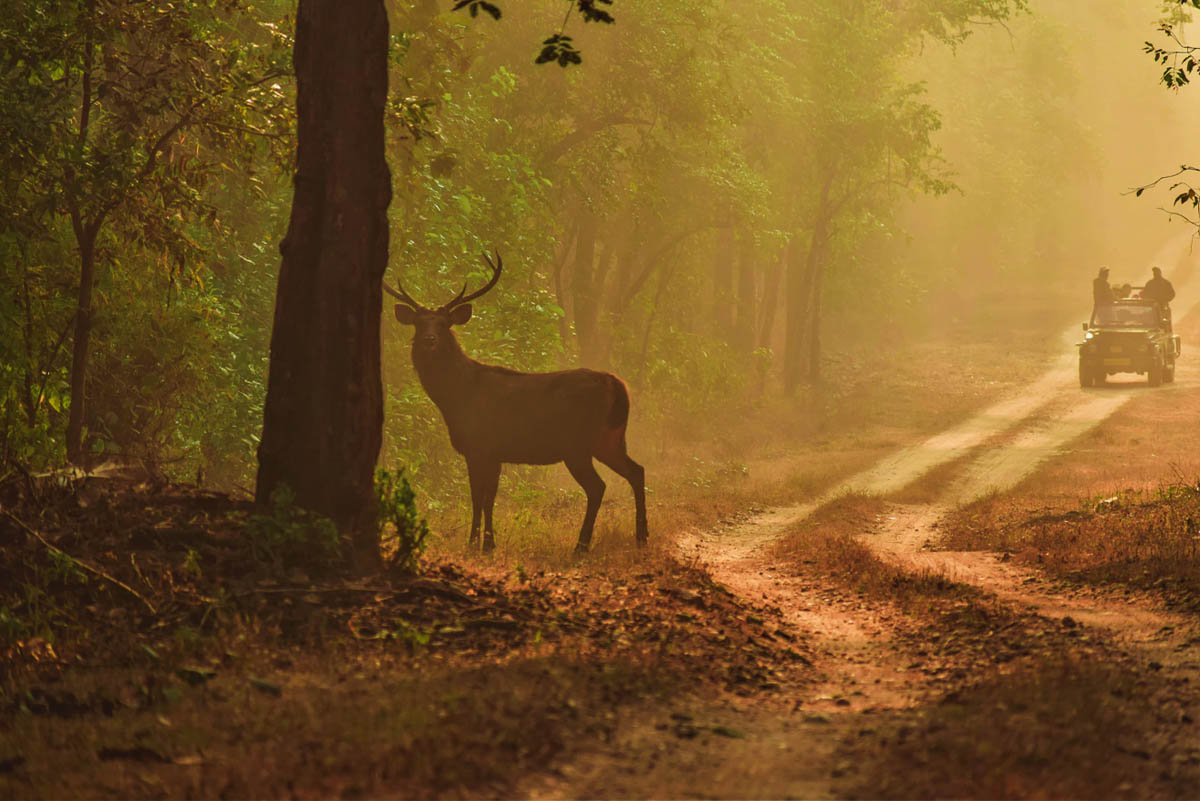 National Parks - Central India -Featured Stag and Jeep